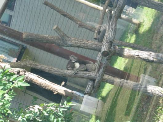 天王寺動物園:コアラはユーカリの葉しか食べないの?