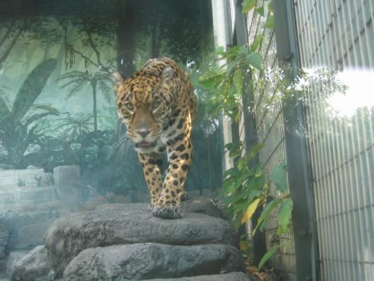 天王寺動物園:ヒョウは、かくれんぼが上手!