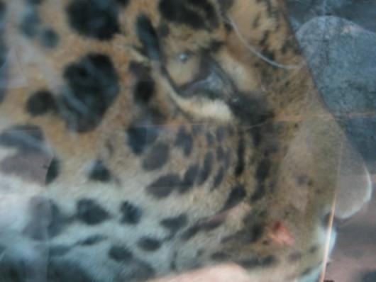 天王寺動物園:ヒョウ