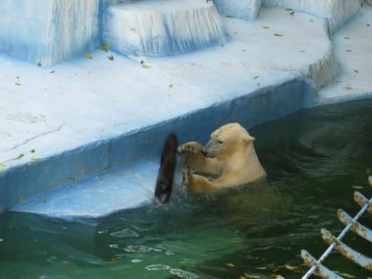 天王寺動物園:ホッキョクグマが前足で鼻を隠す時