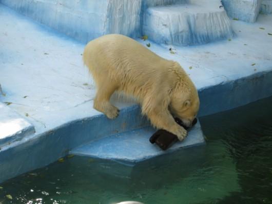 天王寺動物園:ホッキョクグマ